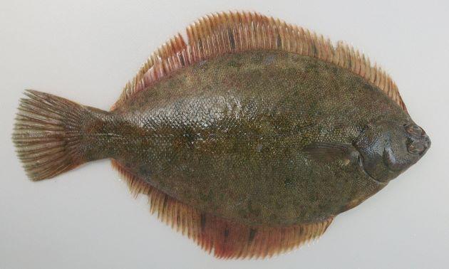 体長50cm前後になる。縦扁(上下に著しく平たい)、卵形であまり頭部は突出しない。裏面に黄色い部分はない。