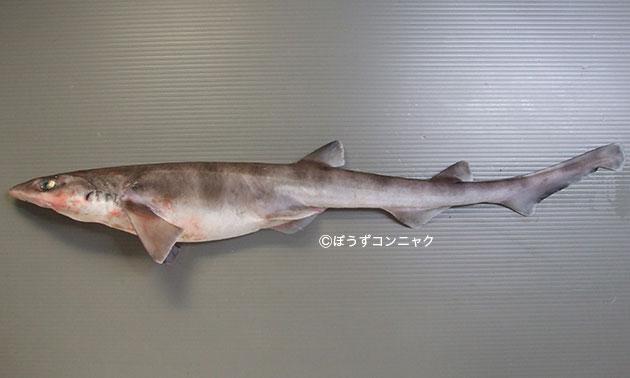 ニホンヤモリザメの形態写真