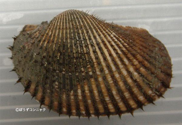 ハゴロモガイの形態写真