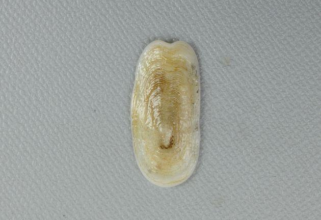 オトメガサの形態写真
