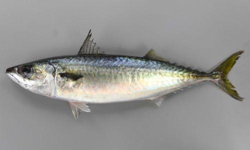 SL50cm前後になる。紡錘形。全身に小さな丸鱗(えんりん)があり、落ちやすい。背部分に特有の緑青色の斑文があり、腹側にはない。目が大きい。