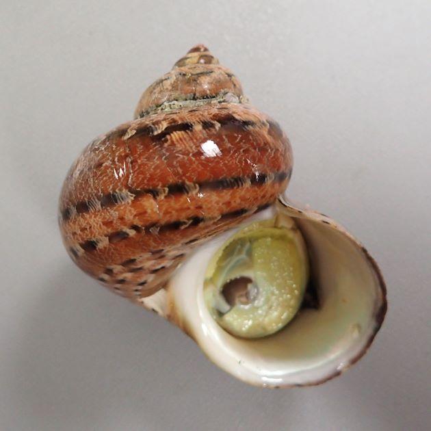 タツマキサザエの形態写真