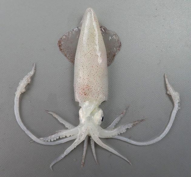 外套長(頭に見える部分)9cm前後でジンドウイカよりも小型。ひれ(耳)は外套長の60%以上。触腕大吸盤角質環に歯がない。