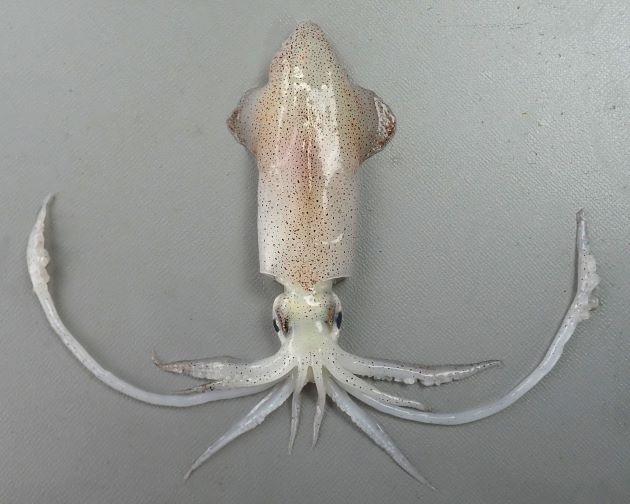 ヒメジンドウイカの形態写真