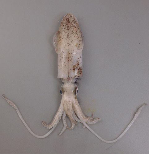 ウイジンドウイカの生物写真