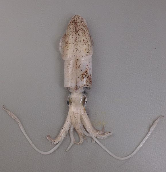 ウイジンドウイカの形態写真