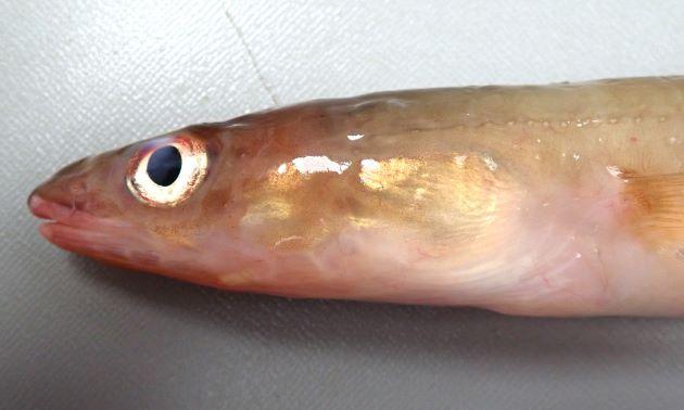 48cm TL 前後になる。後鼻孔は目の中央の高さよりも下にある。目の後縁に暗色斑がない。