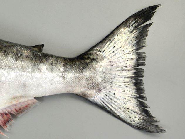 尾鰭には黒点が散らばる。