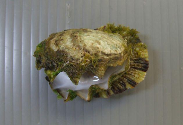 70mm SH 前後になる。不定形で亜等殻。膨らみは弱く、左殻の殻頂部で固着する。貝殻周辺でノコギリ歯状に噛み合わさる。