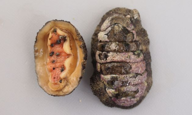 体長8センチ前後になる。8枚の曲がった板状の貝殻があり、軟体部はざらざらしている。