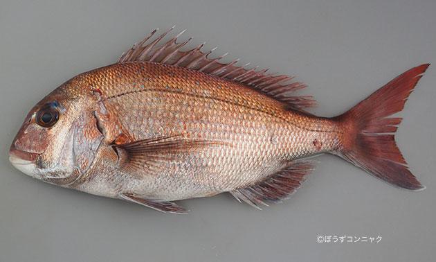 側変形。1メートル前後になる。いわゆる鯛型で、赤く、背中などにコバルト色の斑紋が散る。目の上にはアイシャドウのような濃い筋がある。尾鰭の端は黒い