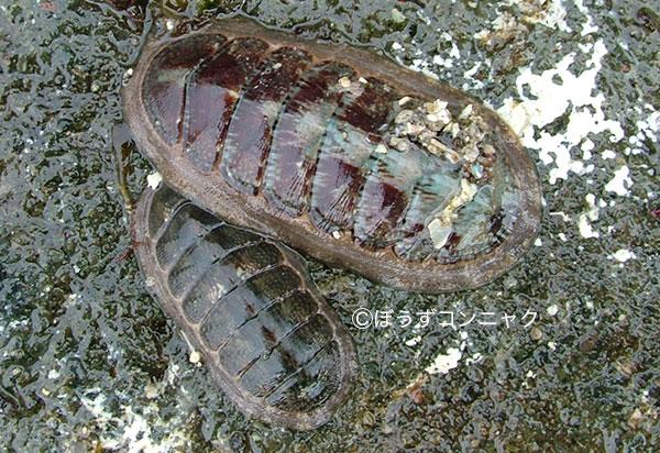 クサズリガイの形態写真