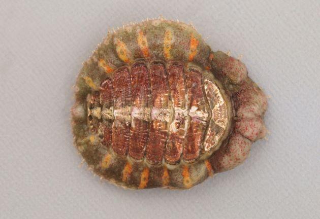 エゾババガゼの形態写真