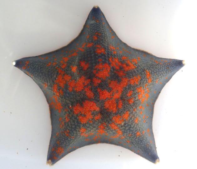 イトマキヒトデの形態写真