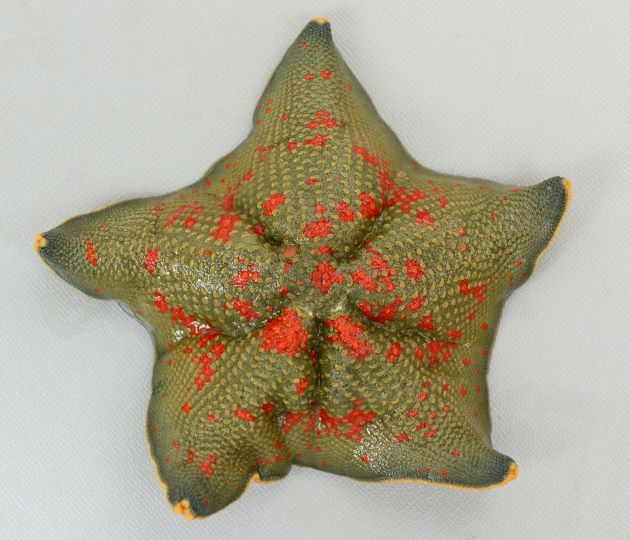 最大幅8cm前後になる。平たく五角形で典型的な星型。色彩は様々。