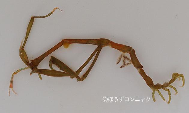 オオワレカラの形態写真
