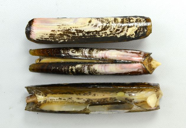 殻長11cm、殻高scm前後になる。マテガイと比べると殻高(貝殻の幅)がある。貝殻はまっすぐではなく微かに背の方に反る。