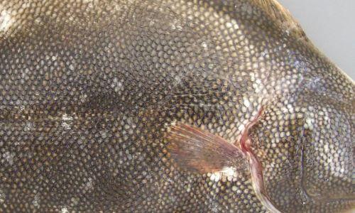 表側の鱗は櫛鱗(しつりん)でザラザラしている。これを松の皮のようだとして「松皮鰈」となったとも。