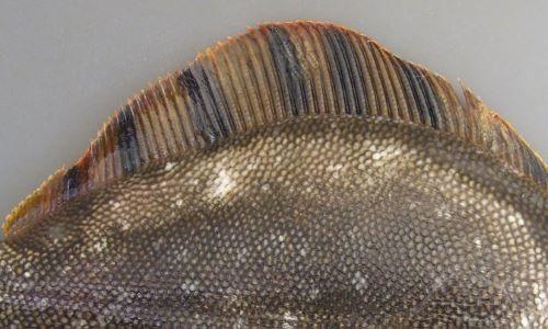 鰭の黒い斑紋は帯状になり鰭の基部から縁まで伸びる。