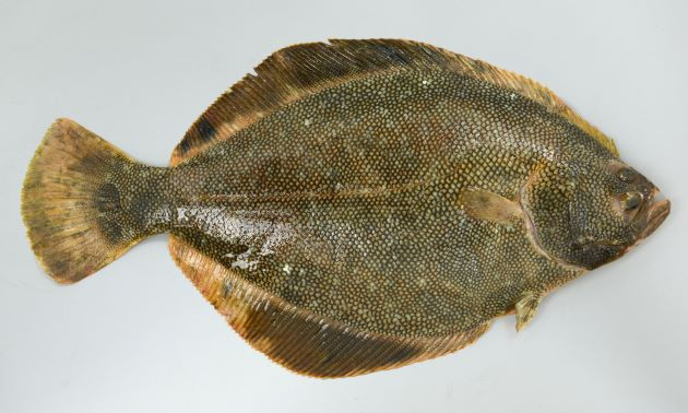 体長70cmほどになる。縦扁する(縦に著しく平たい)。鱗が硬く触るとざらざらする。背鰭・尻鰭(身体の周りを包んでいる大きな鰭)に黒い帯状の斑紋がある。尾鰭の後端は丸い。無眼部(裏)は雌は白く、雄では黄色い。[雄]