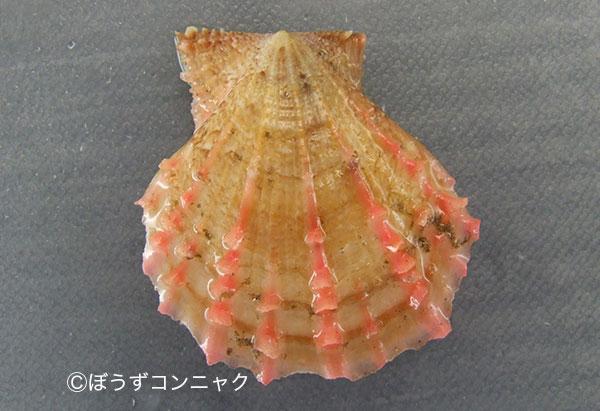 ニシキガイの形態写真