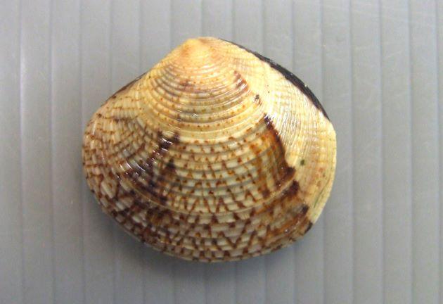 殻長4センチ前後になる。円形に近くやや膨らむ。