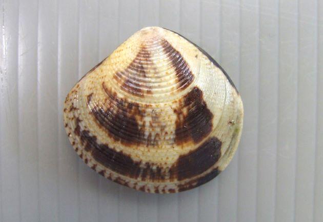 シラオガイの形態写真