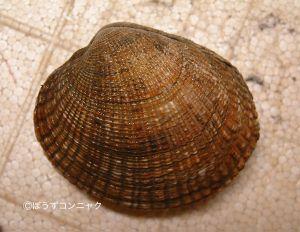 ヌノメアサリのサムネイル写真