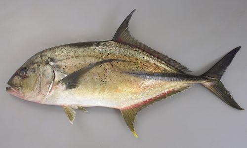 体長80cm前後になる。ゼンゴ(稜鱗)は体の後半にのみある。胸部には鱗のない部分がある。体側上部に黒褐色のゴマ状の斑紋が散らばる。小型の時には体長に対して体高があり、成長するにしたがいほっそりして体高が低くなる(どの体長のときにもロウニンアジよりも体高は低い)。成魚(成長するに従って大きくはっきりしてくる)では側線の一番前部(始まり)、鰓蓋の一番上に白い斑紋がある。目の上から吻にかけて比較的まっすぐ(ロウニンアジは丸みを帯びる)。[体長80cm]