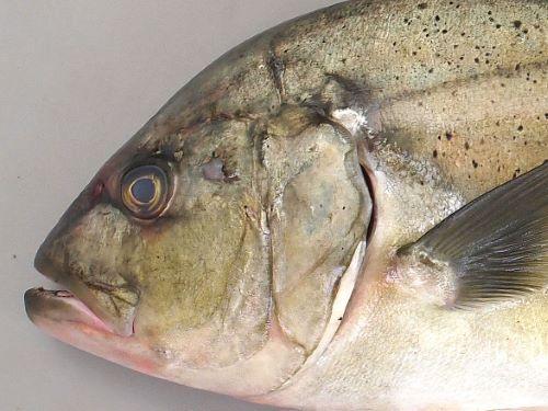 成魚(成長するに従って大きくはっきりしてくる)では側線の一番前部(始まり)、鰓蓋の一番上に白い斑紋がある。目の上から吻にかけて比較的まっすぐ(ロウニンアジは丸みを帯びる)。