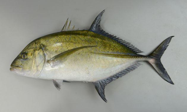 体長80cm前後になる。ゼンゴ(稜鱗)は体の後半にのみある。胸部には鱗のない部分がある。体側上部に黒褐色のゴマ状の斑紋が散らばる。小型の時には体長に対して体高があり、成長するにしたがいほっそりして体高が低くなる(どの体長のときにもロウニンアジよりも体高は低い)。成魚(成長するに従って大きくはっきりしてくる)では側線の一番前部(始まり)、鰓蓋の一番上に白い斑紋がある。目の上から吻にかけて比較的まっすぐ(ロウニンアジは丸みを帯びる)。[体長46cm]