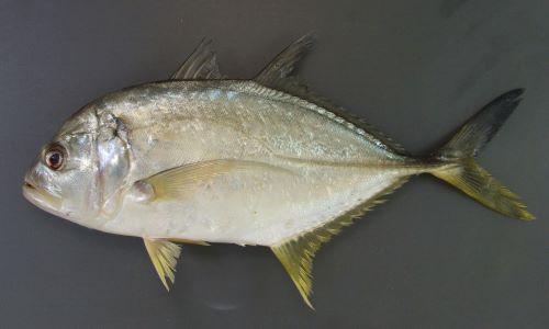 イトウオニヒラアジの生物写真