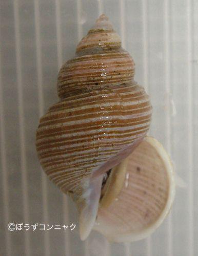サガミバイの生物写真