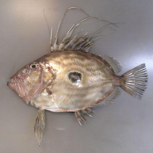 マトウダイの生物写真