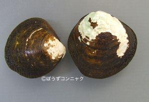 ヒルギシジミのサムネイル写真