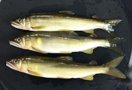 体長20cmを超える。細長く胸鰭、腹鰭、尻鰭が離れている。脂鰭がある。[天然/鰭の先の尖り具合、全体の色合いが違っていて、スマートである]