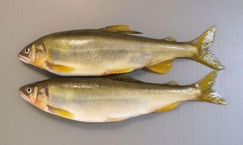 体長20cmを超える。細長く胸鰭、腹鰭、尻鰭が離れている。脂鰭がある。[養殖/鰭の先の尖り具合がにぶく、口が小さく発達していない。全体に肥満系で表面の色合いがにぶい]
