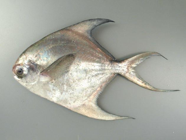 SL 40cm前後になる。腹鰭がない。真横から見ると正方形に近い。若魚は尻鰭・背鰭が長く伸び、尾鰭下葉が長い成魚になると同じ長さになる。[若魚]