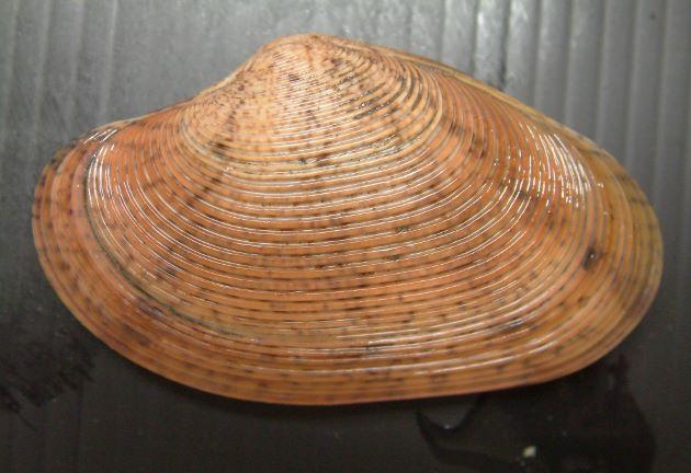 90mm SL 前後になる。長楕円形で、殻は厚くあまり硬くない。殻表は角張った同心円肋で覆われ、スダレガイよりも肋は多く肋間は深い。放射線状の褐色の斑はあるものとないものがある。