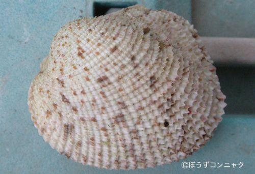 アラヌノメガイの生物写真