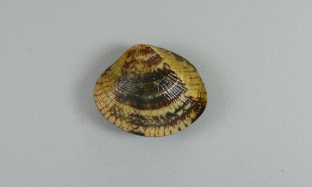 殻長4cm前後になる。円形に近くふくらみは弱い。全体に褐色で不規則な模様がある。