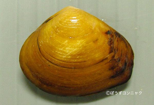 モシオガイの形態写真