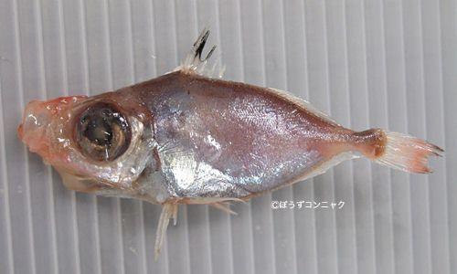 ソコマトウダイの生物写真