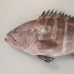 マハタ   魚類   市場魚貝類図鑑