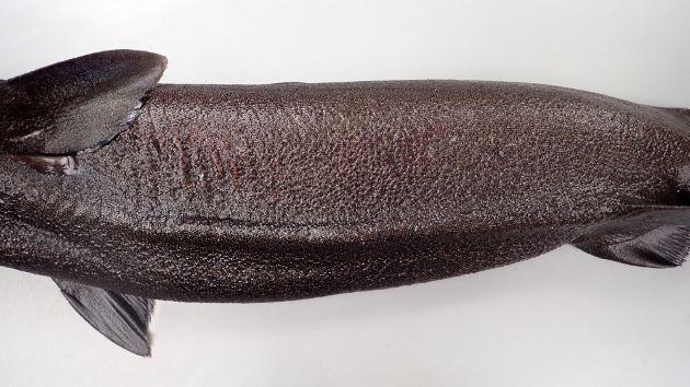 全身黒く体幹腹部にキール(畝状)がある。