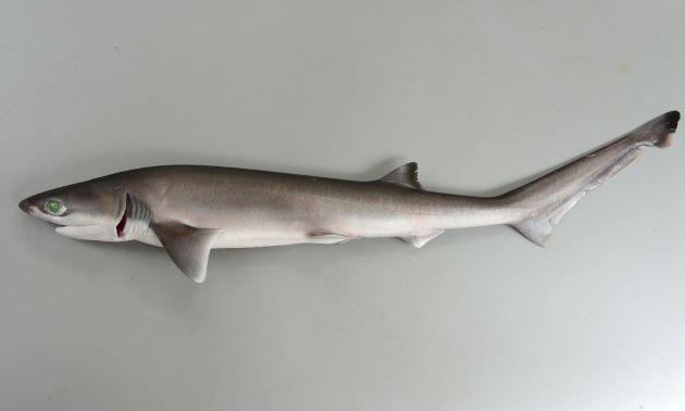 体長1.5m前後になる。背鰭は1つ。背鰭、尾鰭上葉先端は黒い。鰓孔は7対。左右の鰓は下面から見ると離れている。