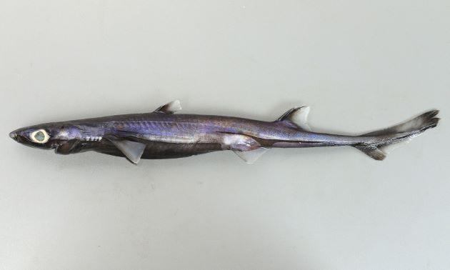 体長46cm前後になる。全体に青黒色で目が大きい。鱗は筋をなしている。腹鰭の上にある黒い筋は前方と後方に伸びるが後方の方が長い。