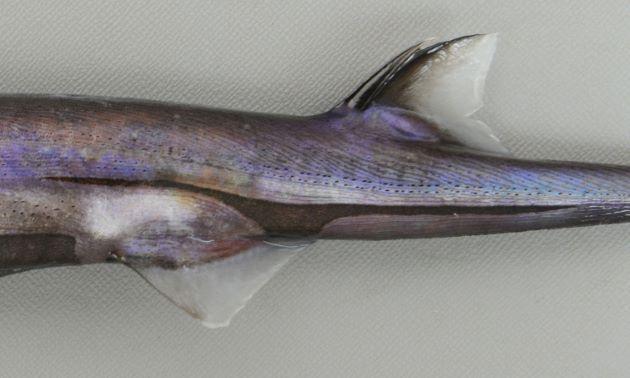 腹鰭の上にある黒い筋は前方と後方に伸びるが後方の方が長い。