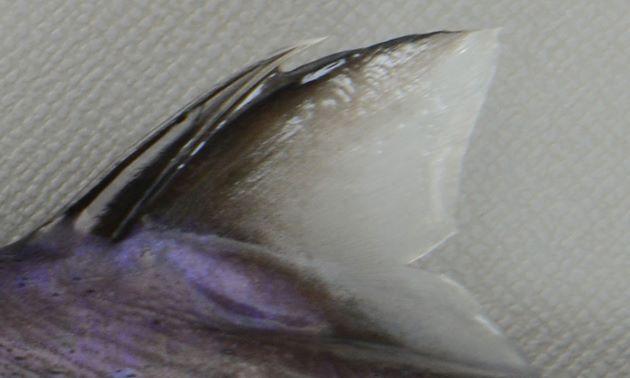 第二背鰭の基部だけに鱗がある。