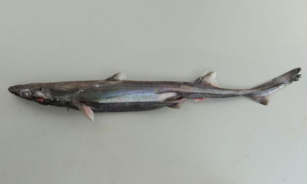 ホソフジクジラの形態写真